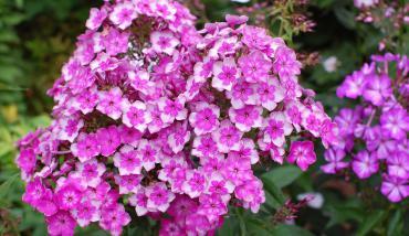 Флоксы – неприхотливые цветы-многолетники для сада