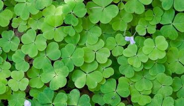 Неприхотливые растения для сада: кислица, рудбекия, агератум